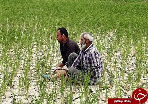خشکسالی در کمین شالیزارهای مازندران